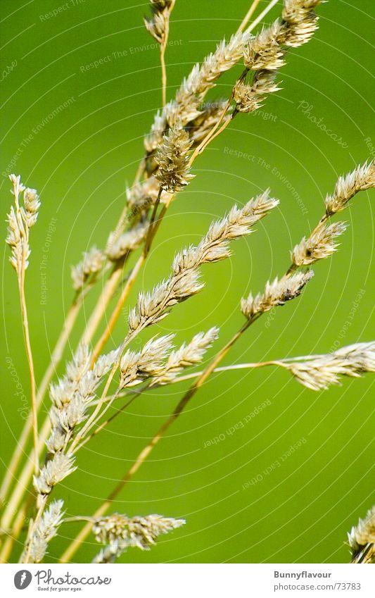Korn grün Sommer gelb Frühling Korn Stroh hellgrün
