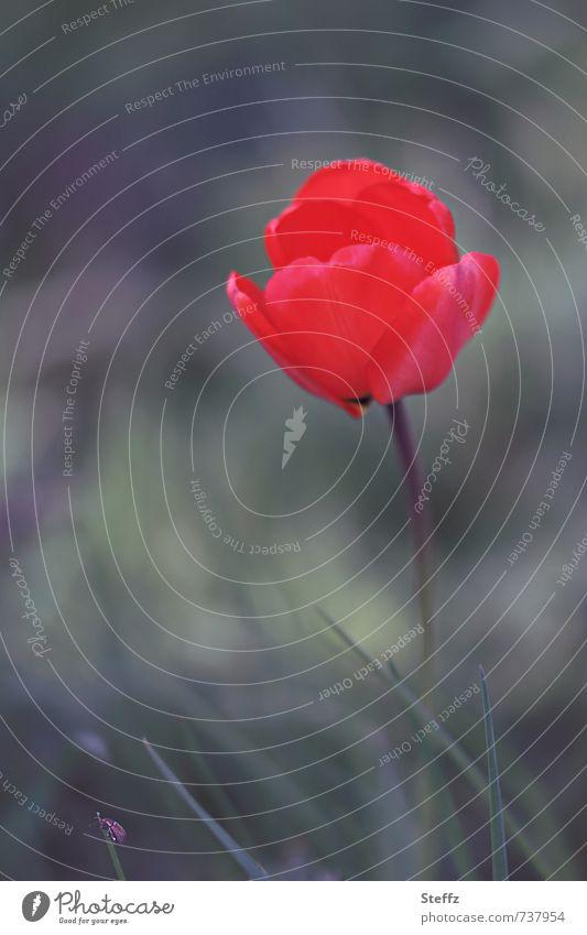 rote Tulpe Tulpenblüte Blüte blühende Tulpe romantische Blume blühende Blume außergewöhnlich auffallen einzigartig besonders Mai blühende Frühlingsblume