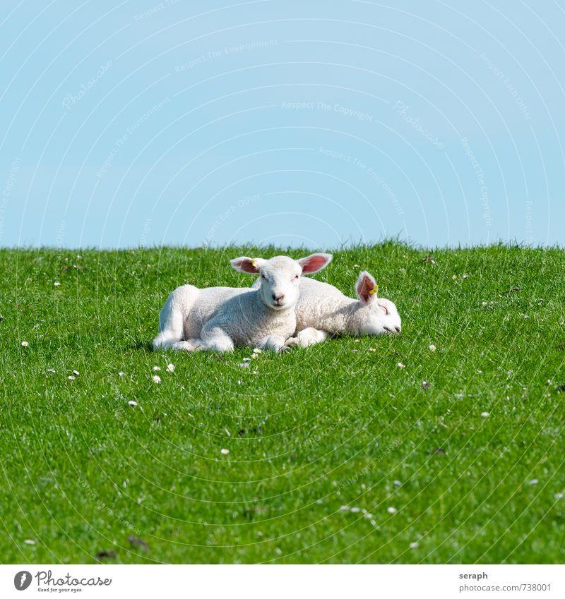 Lämmer Schaf Lamm Nachkommen Wiederkäuer Grasland Weide Landwirtschaft Ackerbau Rind agrarian ländlich Fressen Landschaft laying Erholung Tier heimisch Schäfer