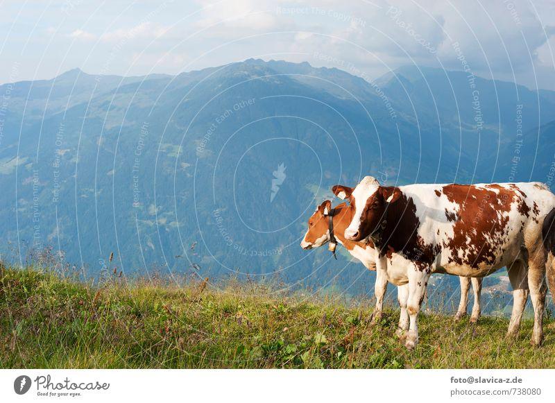 Kühe auf die Wiese, Zillertal, Österreich Erholung Ferien & Urlaub & Reisen Tourismus Berge u. Gebirge Natur Landschaft Wege & Pfade Nutztier Kuh 2 Tier frei