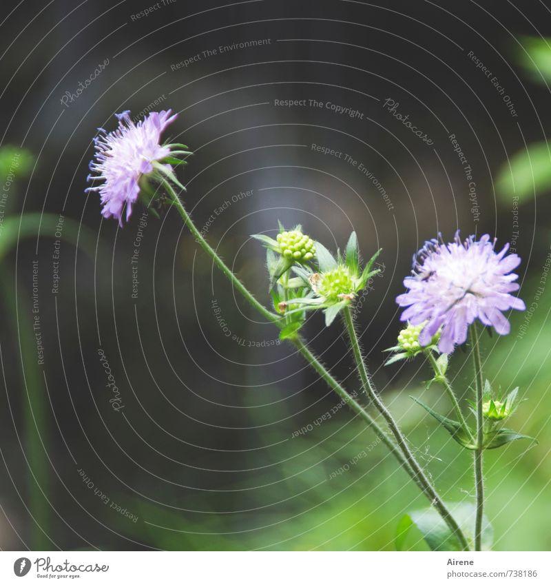 Waldblümchen Natur Pflanze Sommer Blume Skabiose dunkel schön grün violett fliederfarben blasslila Farbfoto Außenaufnahme Nahaufnahme Menschenleer