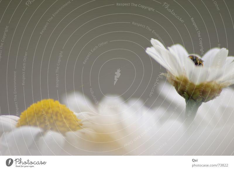 Biene auf Blume Blume Blüte grau Biene