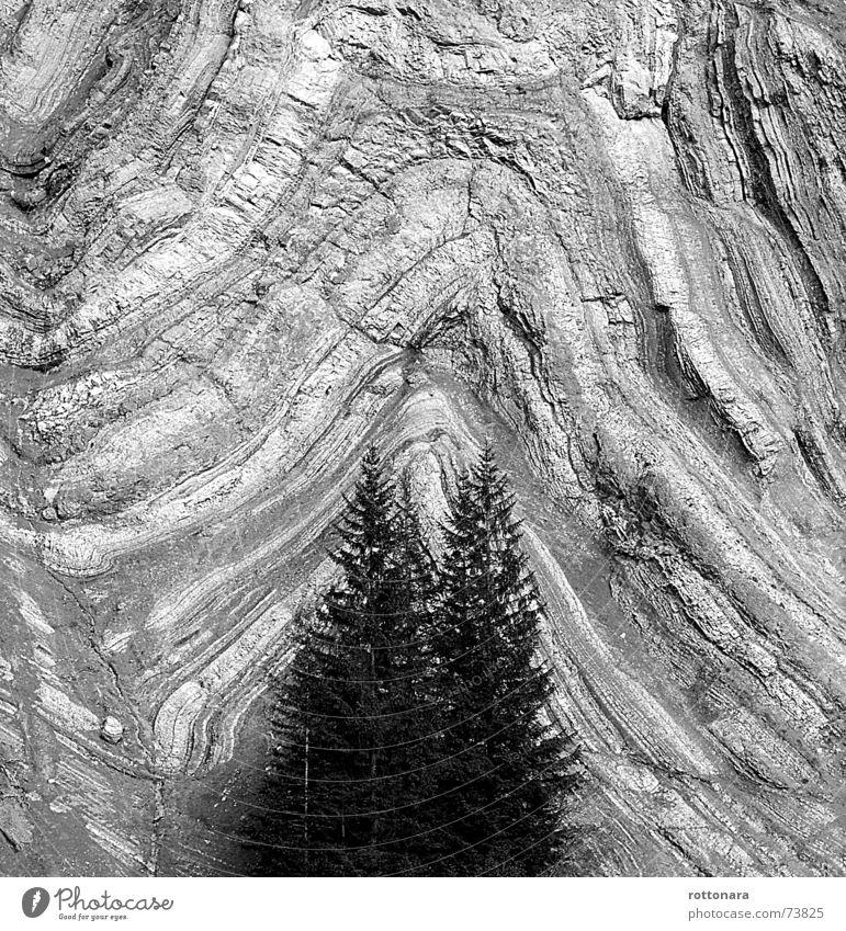 SchichtenWALD Wald schwarz weiß grau Hintergrundbild Fichte Baum 2 3 Felswand Wand Dolomiten Südtirol Italien Felsen Schichtarbeit Vulkan Schwarzweißfoto Stein