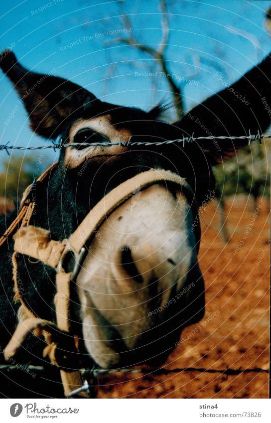 Esel Himmel Baum Ferien & Urlaub & Reisen braun Erde Mallorca Maul Tier
