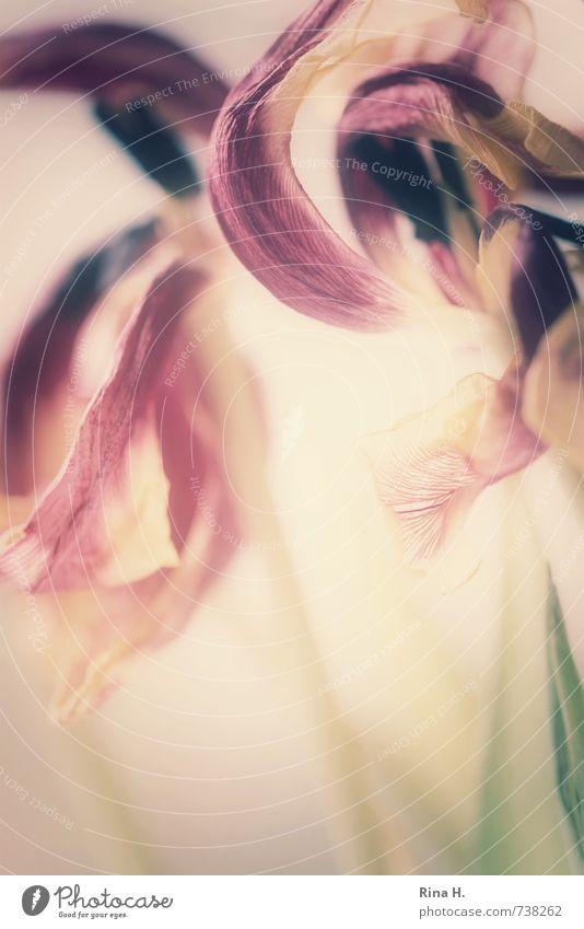 Im Auge des Betrachters Blume Tulpe Blüte verblüht violett rosa Vergänglichkeit Wandel & Veränderung Blütenstempel Blütenblatt zerbrechlich Transparente