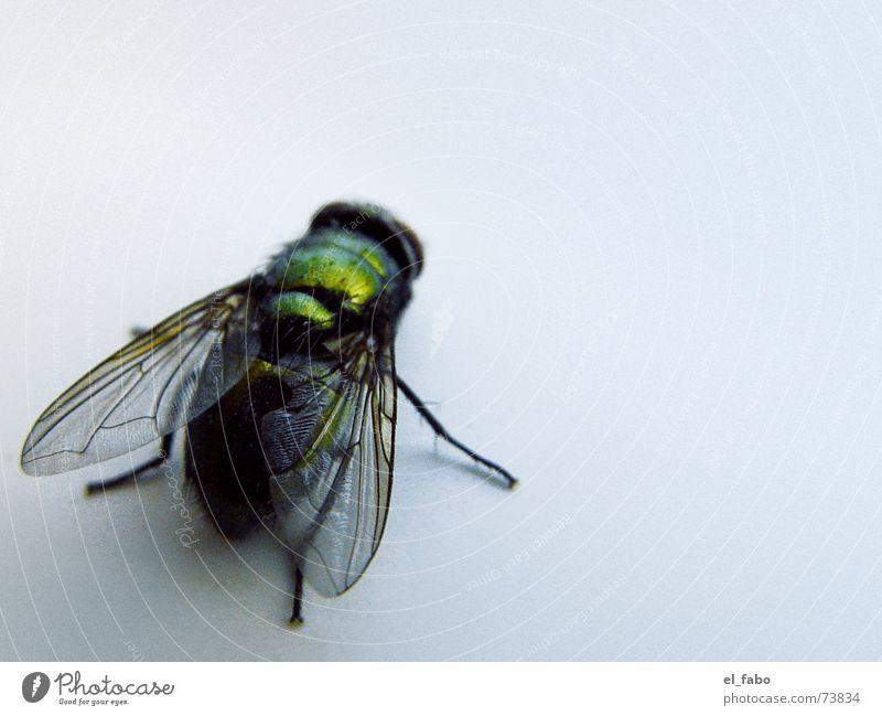 brummer grün glänzend Insekt Ekel Fliege Biene Flügel puck haufen :-)