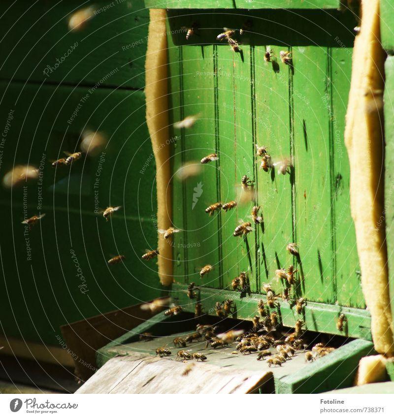 Fleißige Bienchen Umwelt Natur Tier Nutztier Biene Schwarm hell klein grün Bienenstock fliegen fleißig Summen Farbfoto mehrfarbig Außenaufnahme Menschenleer Tag