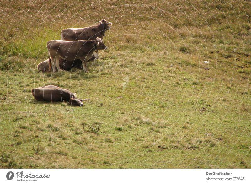 Pause Trägheit schlafen Landwirtschaft Kuh ruhig Alm Freizeit & Hobby Ferien & Urlaub & Reisen Bauernhof Tier Rind Vieh Ernährung umgefallen freilaufend driften