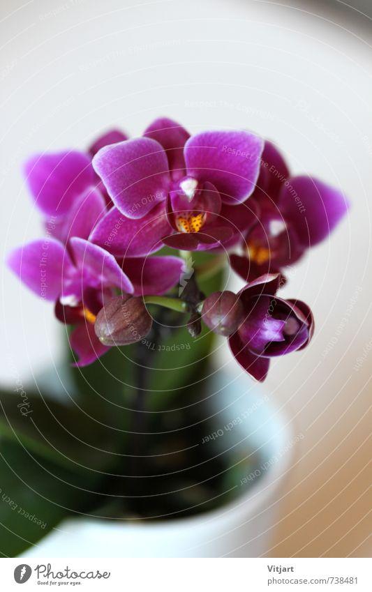 Orchidee Natur Pflanze Frühling Blume Blüte Topfpflanze ästhetisch hell nah schön grün violett weiß Farbfoto Innenaufnahme Nahaufnahme Makroaufnahme