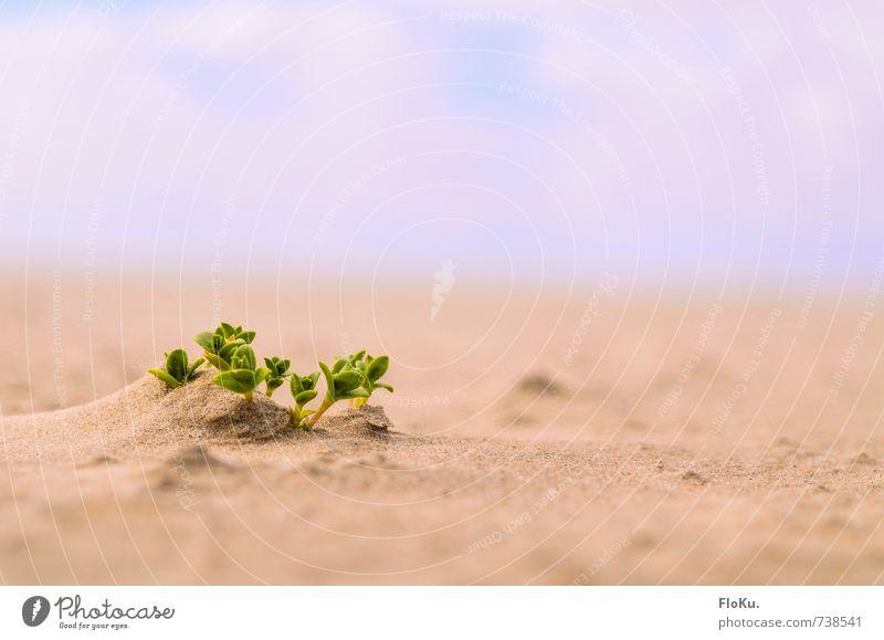 Überlebenskünstler Umwelt Natur Pflanze Urelemente Erde Sand Sträucher Blatt Grünpflanze Küste Wüste Wachstum nachhaltig natürlich trocken wild gelb grün