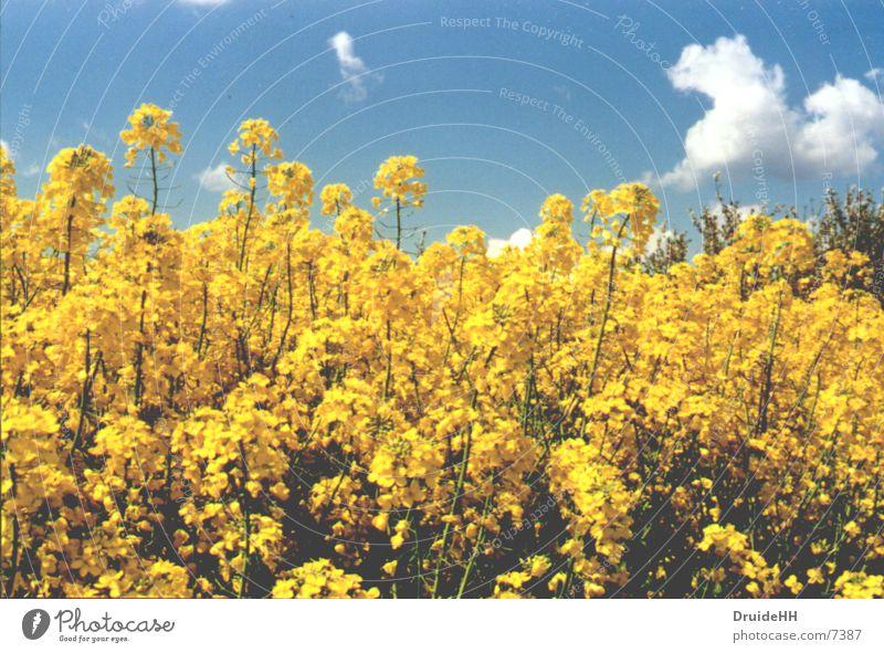 Frühling Raps Wolken gelb Blüte Feld