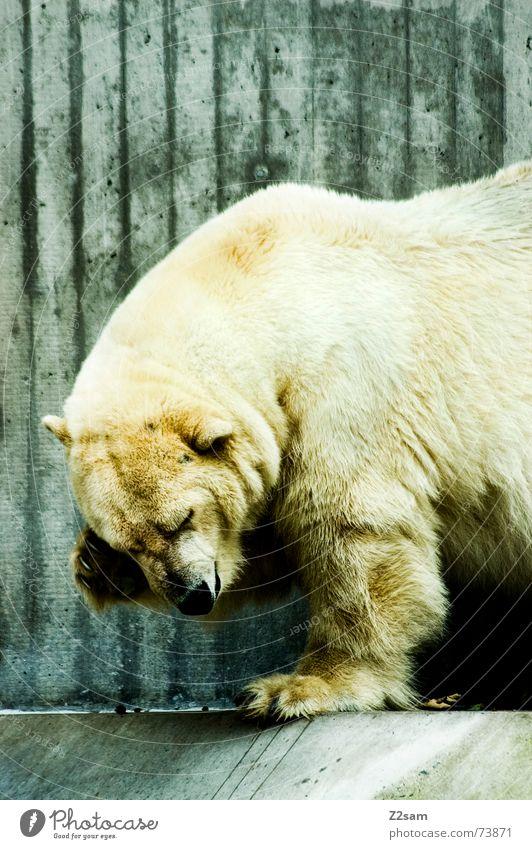Eisbär - gschamig weiß Tier groß gefährlich süß niedlich Fell Scham Bär Eisbär Landraubtier Alaska Arktis