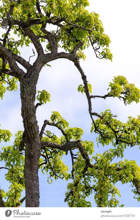 Obstbaum Baumrinde sprießen Trieb Ast verzweigt Botanik Wachstum Blatt Pflanze zart filigran Baumstamm Baumkrone Zweig Jahreszeiten Pollen Blühend Blume
