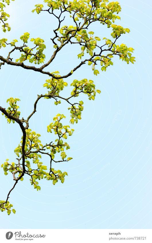 Astwerk Baumrinde sprießen shoot Ahorn Ahornblatt Allergie Heuschnupfen allergens branch verzweigt Botanik Blatt Natur Pflanze delicate stem Baumstamm Baumkrone
