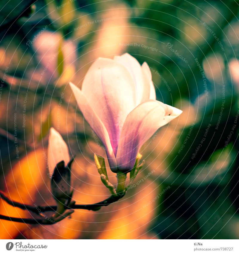 Magnolia Natur Pflanze Tier Frühling Baum Blatt Blüte Magnolienbaum Magnolienblüte Tulpenbaum Blühend Duft verblüht Wachstum authentisch gelb grün violett