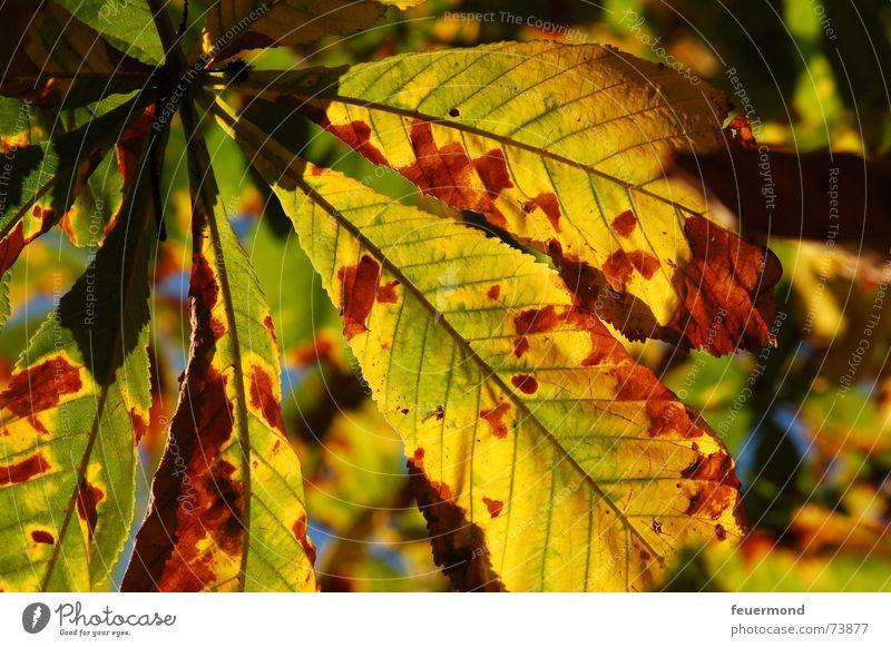 Schööön herbstlich. Baum Blatt Herbst Herbstlaub Oktober Kastanienbaum September