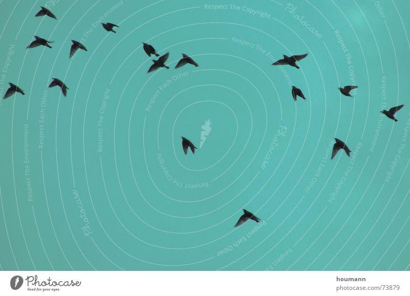 Herbstvögel grün Vogel Himmel starling fliegen Tanzen autumn sky flying birds dance freedom Freiheit