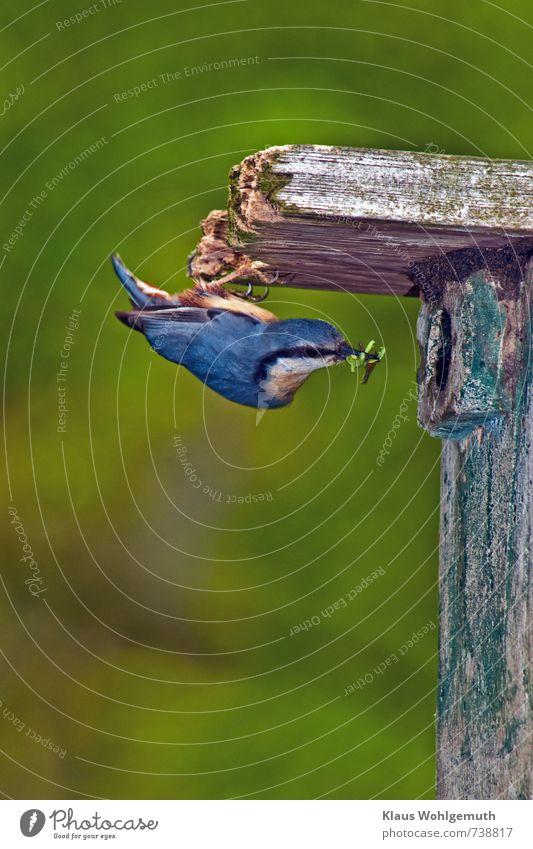 Schwerstarbeit Umwelt Natur Tier Frühling Sommer Park Wald Wildtier Vogel Kleiber 1 fliegen füttern hängen blau gelb grün rot schwarz weiß Nest Nistkasten