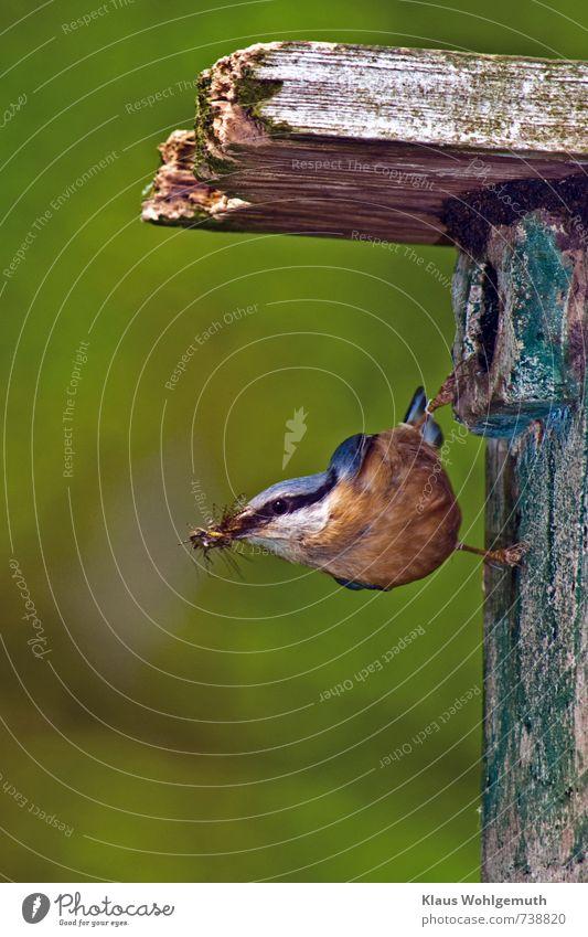 Schwerstarbeit 2 Umwelt Natur Tier Frühling Park Wald Wildtier Vogel Tiergesicht Flügel Krallen Kleiber 1 füttern hängen blau mehrfarbig gelb grau orange rosa