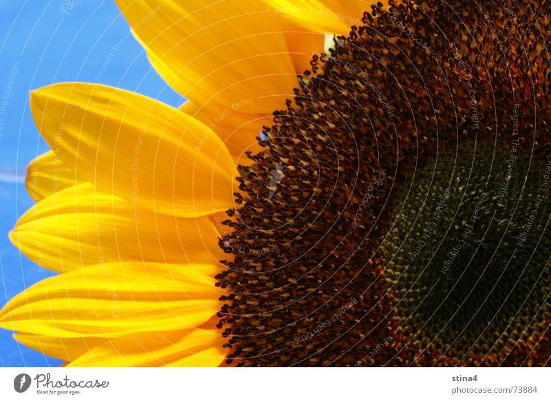 Sonnenblume Blume blau Sommer gelb