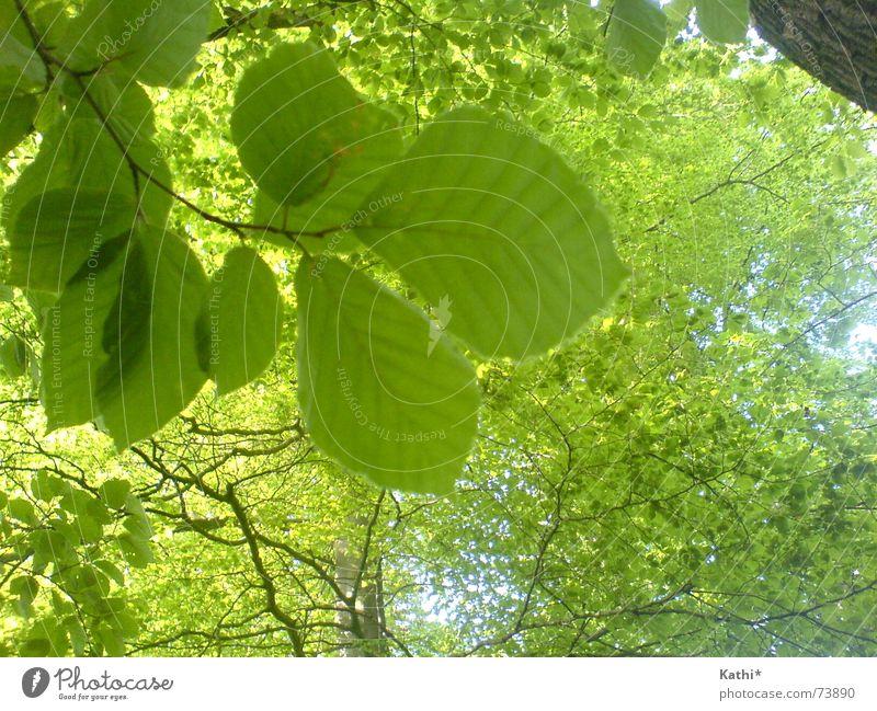 Frühlingsbäume Freiheit Umwelt Natur Baum Blatt Wald frisch Gesundheit natürlich saftig grün Frühlingsgefühle trösten ruhig Leben Hoffnung Glaube Duft Erholung
