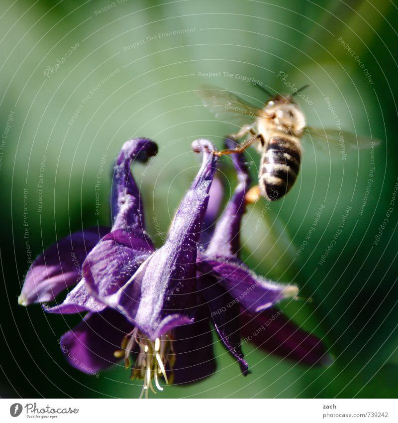 Von Blumen und Bienen Honig Pflanze Blatt Blüte Grünpflanze Wiese Tier Nutztier Insekt 1 fliegen blau grün violett Blühend bestäuben Flügel Farbfoto