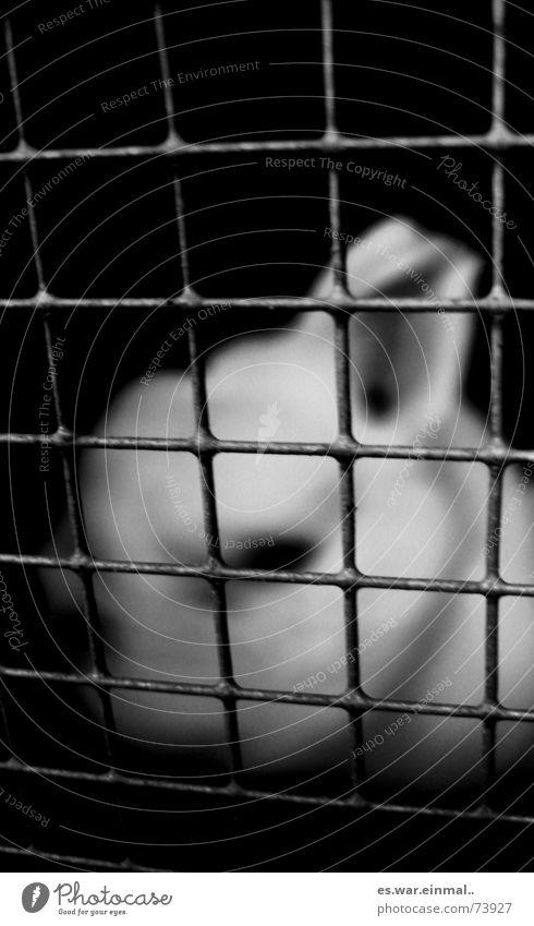 nächstes jahr fällt ostern aus. weiß Einsamkeit schwarz dunkel Traurigkeit weich Fell Hase & Kaninchen Gitter gefangen Käfig eingeschlossen Versuchstier