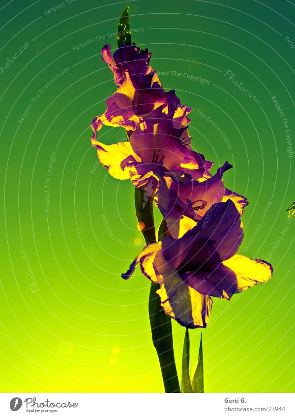 I'm so glad..... Gladiolen grün Grünstich violett Blume Blüte Pflanze Natur Blümchensex Gegenlicht Sonnenlicht Stimmung Lichtstimmung Sonnenaufgang