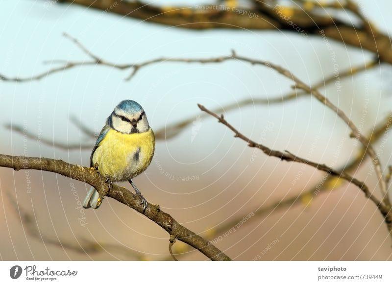 Natur blau schön weiß Farbe Tier Winter gelb Schnee klein Vogel Park wild Europa Frost Jahreszeiten