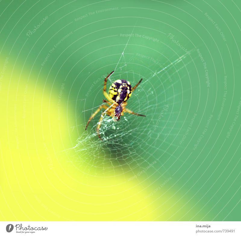 izibizi spider Umwelt Natur Frühling Sommer Tier Wildtier Spinne 1 exotisch grün gelb Spinnennetz Spinnenbeine Insekt Gift Ekel klein spinnen Jagd Farbfoto