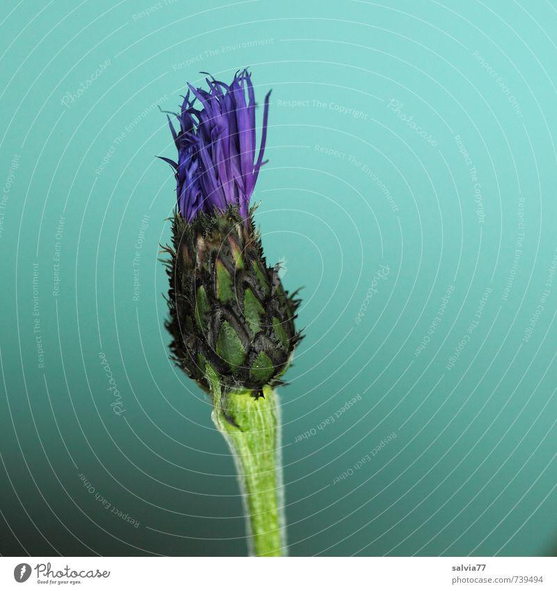 Entfaltung Duft Umwelt Natur Pflanze Frühling Sommer Blume Blüte Garten Menschenleer Wachstum ästhetisch exotisch dünn schön blau grün türkis Frühlingsgefühle