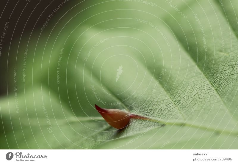 Blatthorn Krankheit Umwelt Natur Pflanze Frühling Sommer Wachstum eckig Ekel exotisch natürlich saftig stachelig grün bizarr Schutz Gallwespe Schadbild