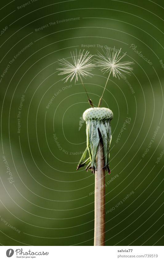 die letzten Zwei Leben Sinnesorgane ruhig Natur Pflanze Frühling Sommer Blume Wildpflanze Wiese dünn elegant frei Fröhlichkeit klein nackt natürlich weich grün