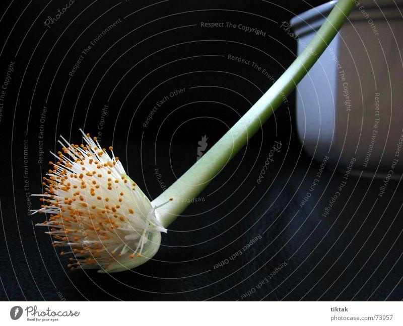 Blütenrüssel Blume Pflanze Blütenblatt Blumentopf Stengel Staubfäden Wachstum Blühend Botanik weiß grün schwarz dunkel schön dezent Trauer Pollen Natur Lampe