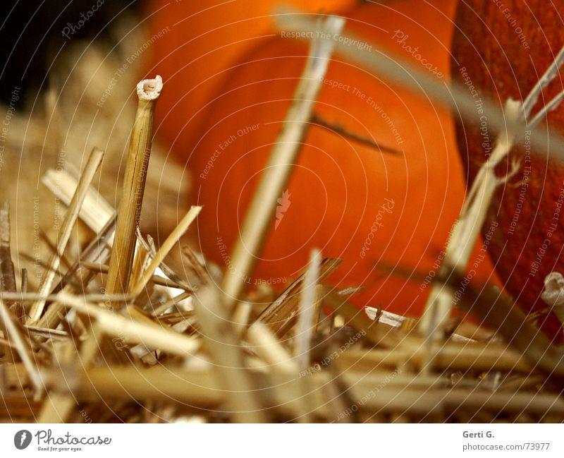 der letzte Strohhalm orange Lebensmittel Ernährung Dekoration & Verzierung Landwirtschaft Gemüse Bauernhof Halm vertikal Halloween Futter Kürbis Strohballen