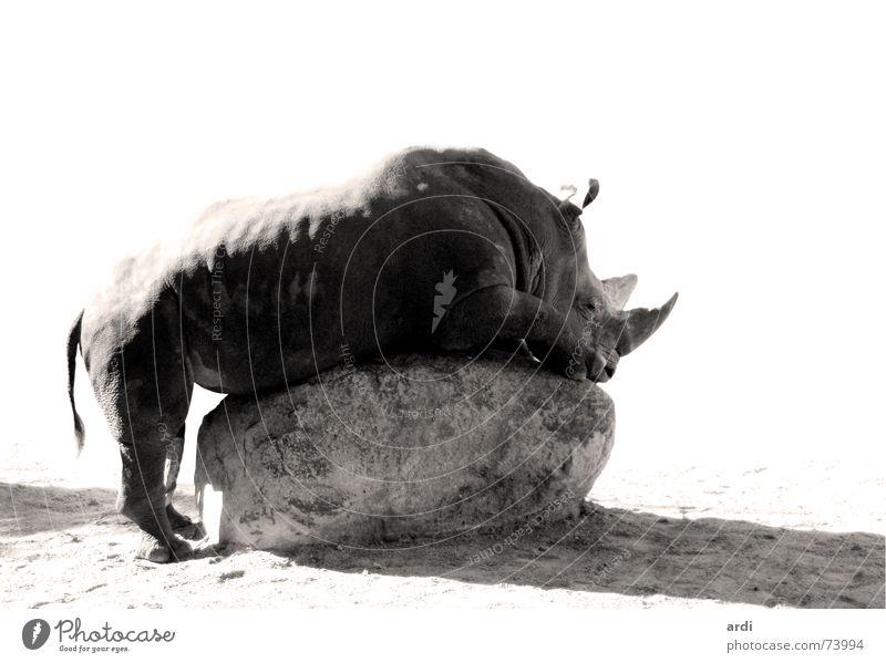 horny Nashorn Penis Verwechslung baumeln Tier dick maskulin Schwanz schwer groß lang grau Lust hängen ruhig fantastisch Zoo Erholung Kraft Frieden Säugetier