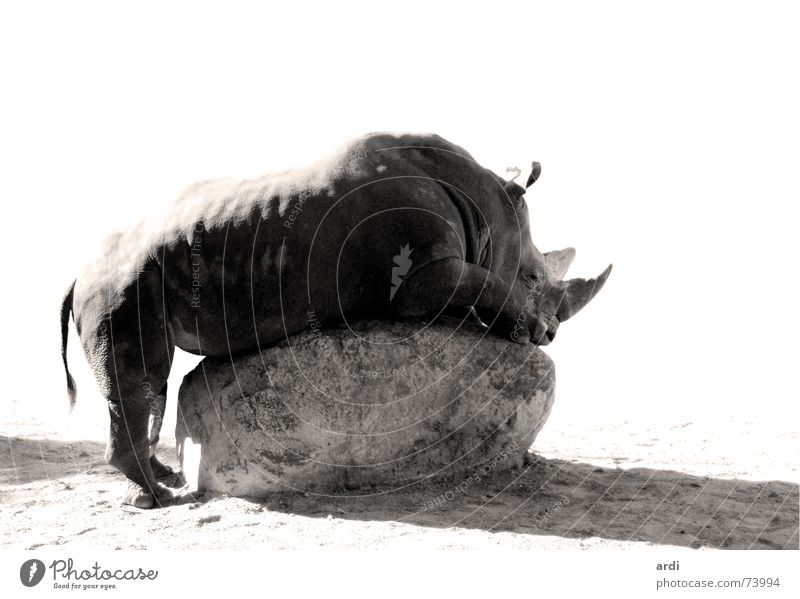 horny ruhig Tier Erholung grau Stein Kraft Felsen maskulin liegen groß Frieden lang Zoo fantastisch dick Müdigkeit