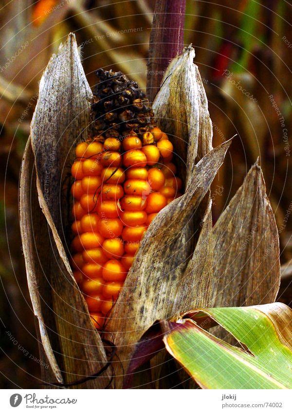 Maister alt grün Pflanze gelb Herbst Feld Ernährung genießen Ernte welk füttern getrocknet Futter Krallen Geschmackssinn Oktober