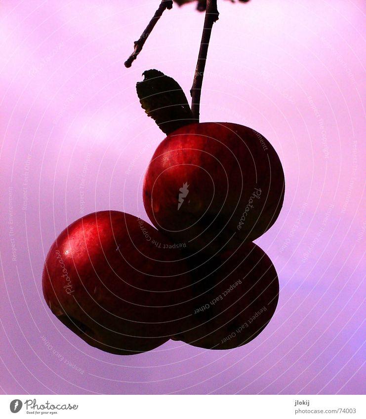 taufrisch Natur Baum rot Pflanze Ernährung Herbst Lebensmittel Frucht rosa laufen 3 Seil Wachstum süß fallen