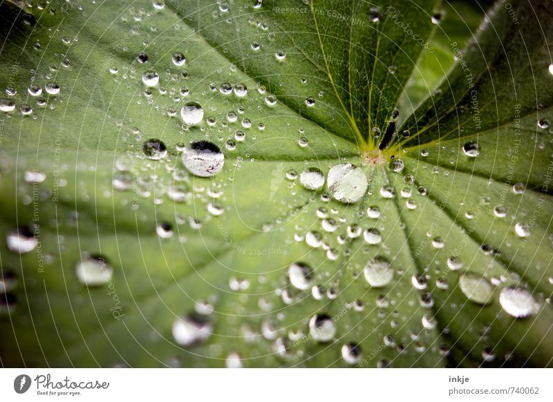 Frauenmanteltropfen: fast wie Raps Natur Wassertropfen Wetter Regen Pflanze Blatt Frauenmantelblatt frisch nah nass natürlich rund schön grün Klima