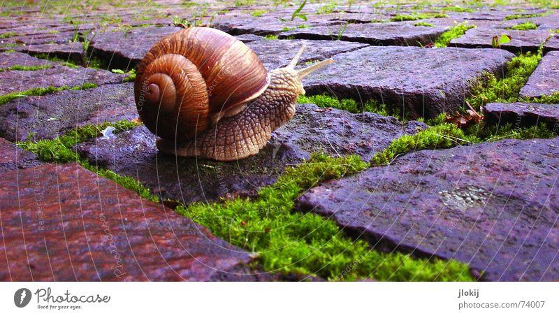 Blitzschach Geschwindigkeit langsam Schleim Ausgang Haus Weichtier krabbeln Pflanze Tier unterwegs Natur Schneckenhaus Gras Kopfsteinpflaster Dorf Lebewesen