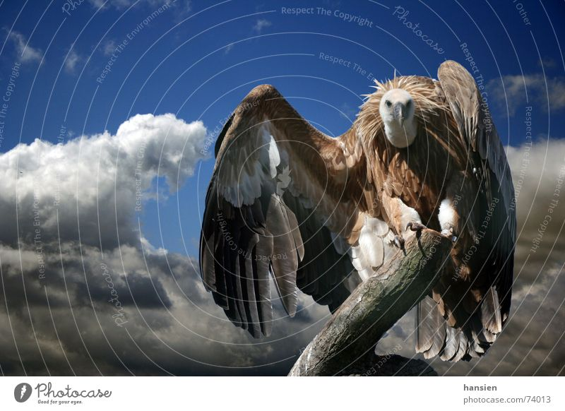 Geier Wolken Feder Flügel dramatisch Geier