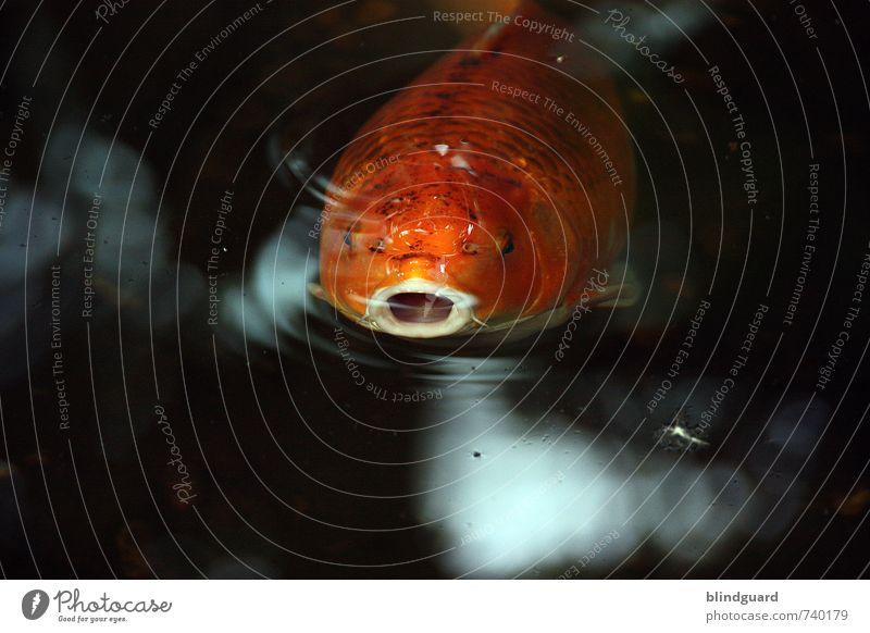 Mr. Big Mouth Natur Tier Wasser Fisch Aquarium 1 atmen Blick Schwimmen & Baden orange schwarz weiß Maul Auge Schwimmhilfe Kieme Farbfoto Innenaufnahme