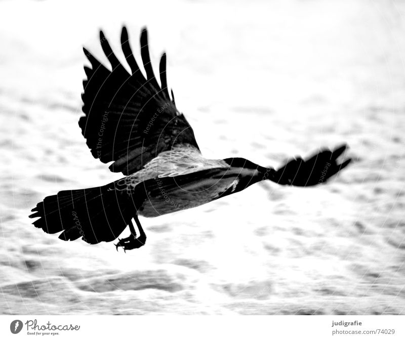 Nebelkrähe Aaskrähe Rabenvögel Krähe Vogel Tier Strand Küste Meer Schwung Feder schwarz grau Weststrand Schwarzweißfoto Luftverkehr Beginn Sand Dynamik Kraft