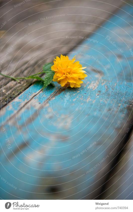 Goldschatz harmonisch Zufriedenheit Sinnesorgane Erholung Blume Holz Duft Feste & Feiern Freundlichkeit Fröhlichkeit frisch Gesundheit blau gelb Warmherzigkeit