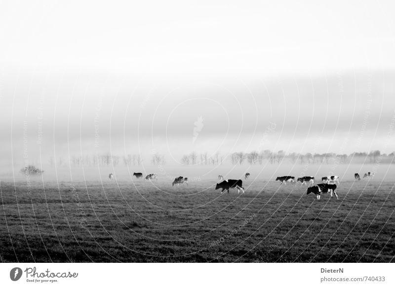 Im Nebel Tier Nutztier Kuh Tiergruppe Herde grau schwarz weiß Nebelschleier Nebelstimmung Baum Wiese Weide Schwarzweißfoto Außenaufnahme Menschenleer