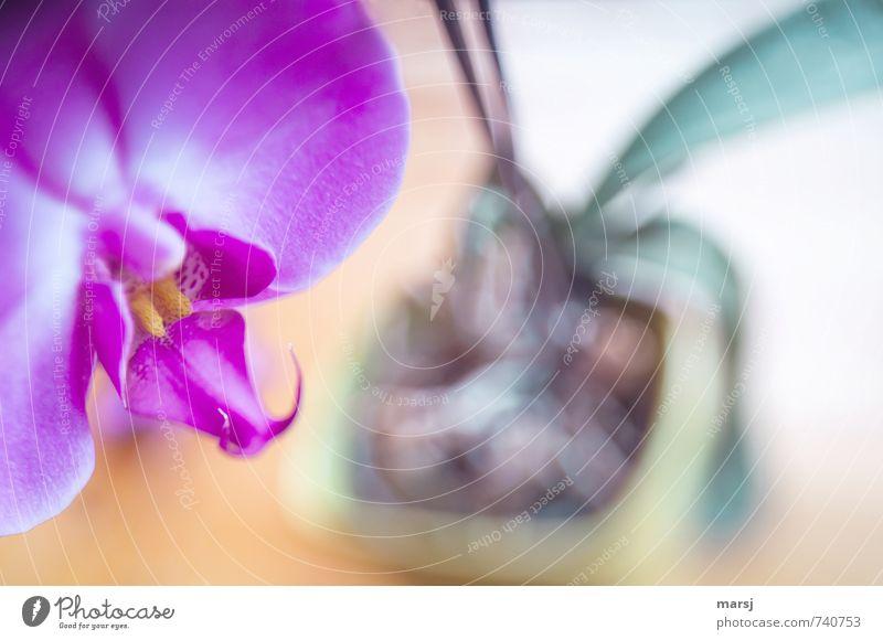 Im Topf Pflanze Orchidee Blüte Topfpflanze exotisch Phalaenopsis Blühend Erholung leuchten träumen Wachstum ästhetisch außergewöhnlich einzigartig Kitsch nah