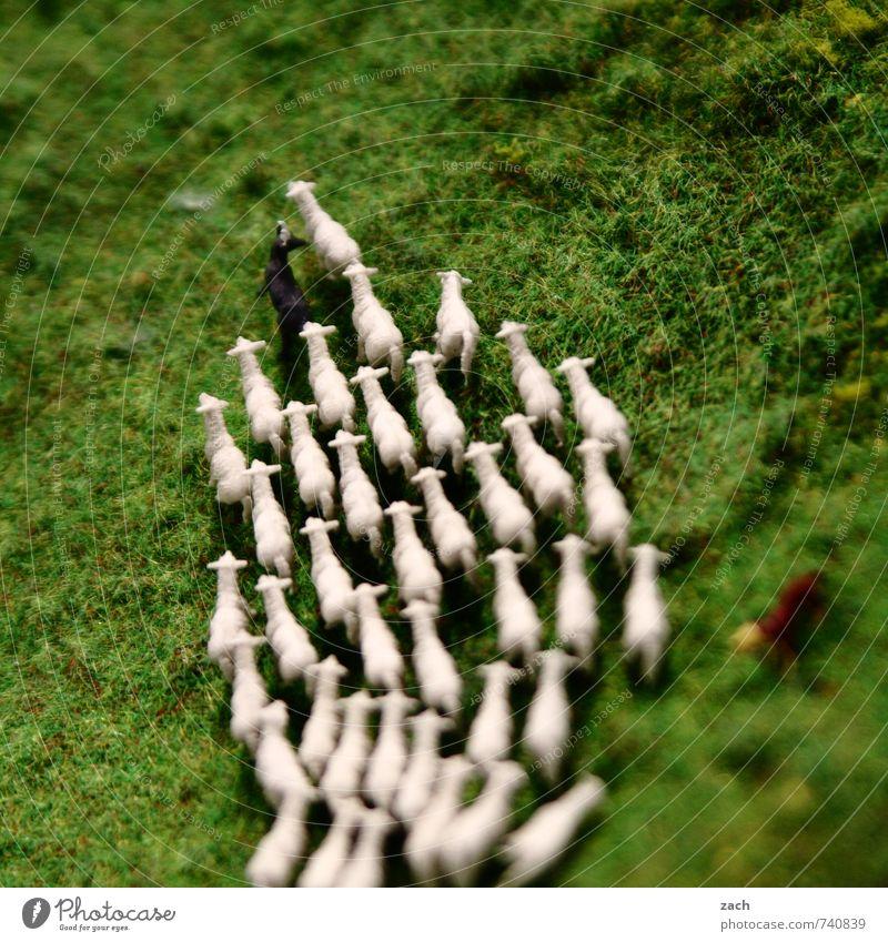 Rasen ist gefährlich | Weg zur Schlachtbank Fleisch Schäfer Hirte Landwirtschaft Forstwirtschaft Umwelt Natur Landschaft Pflanze Tier Gras Wiese Feld Haustier