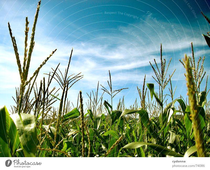 Im Maisfeld Feld Mitte schön Sommer Stimmung Farbverlauf Luft ruhig Wolken Streifen Horizont grün Reifezeit Himmel Natur Ferne blau Klarheit Bodenbelag Ausflug