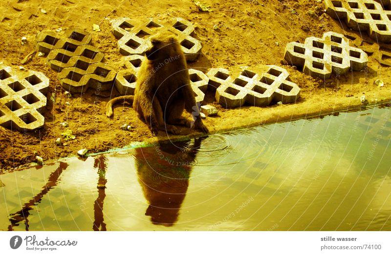 PAVIAN Wasser Einsamkeit Stein Beton trinken Ast Fell Waschen Schwanz Affen Pavian